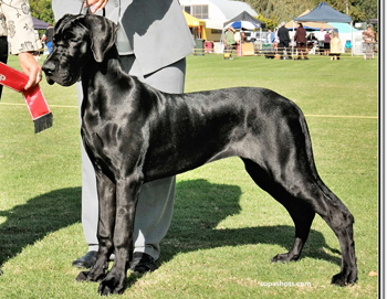 What Are Great Danes Bred For Cheshire Great Danes -...